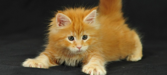 6MaineCoonKittyWoof