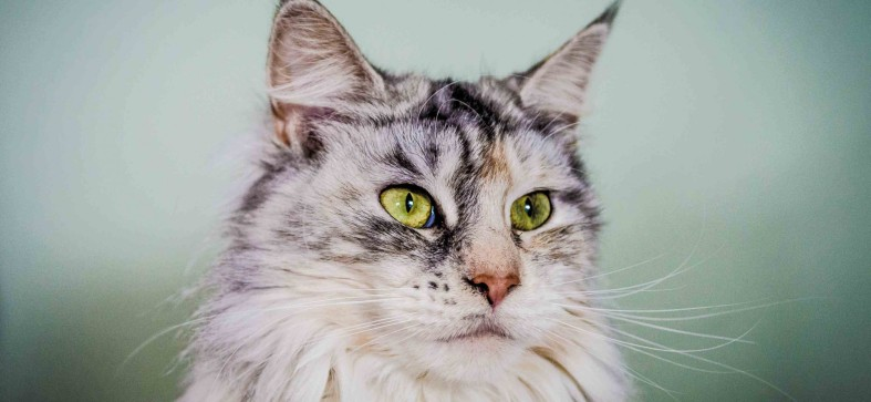 cropped-4mainecoonqueen2.jpg